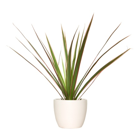 dracaena plant in light pot photo