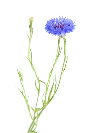 cornflower: cornflower  Stock Photo