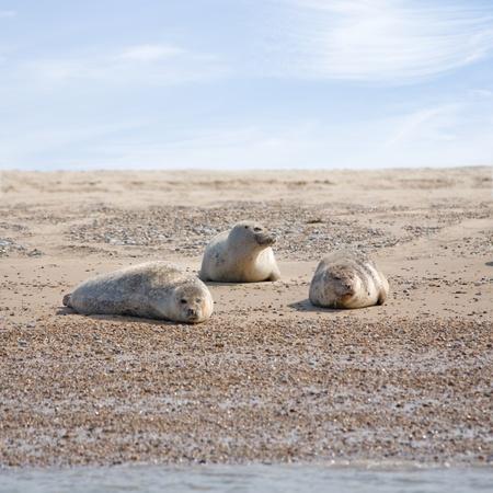 blabber: Common Seal