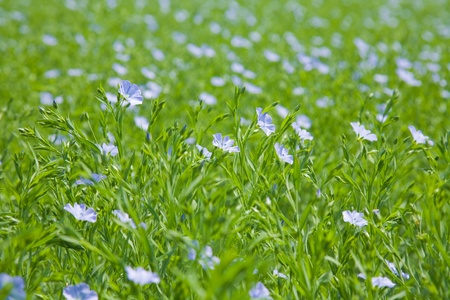 linum: flax plants (Linum usitatissimum) Stock Photo