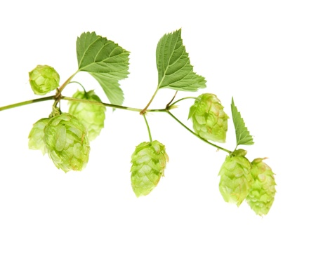 hop branch isolated photo