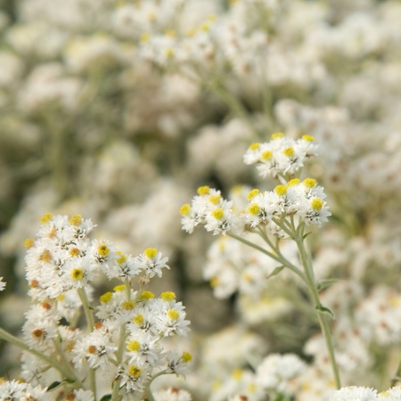 pearly: Anaphalis (Pearly everlasting)
