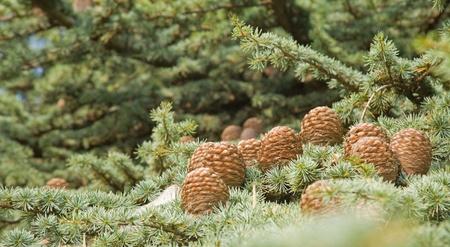 Cedrus deodara cones (Deodar Cedar, Himalayan Cedar, or Deodar)