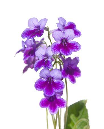 nodding: Purple-lilac Streptpcarpus (Cape Primrose, nodding violet)