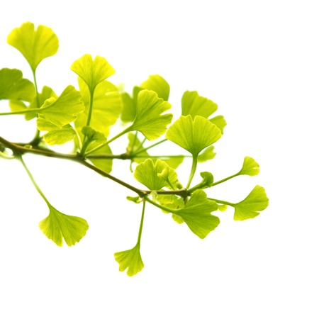 ginkgo leaf:  ginkgo biloba branch with young leaves, isolated on white Stock Photo