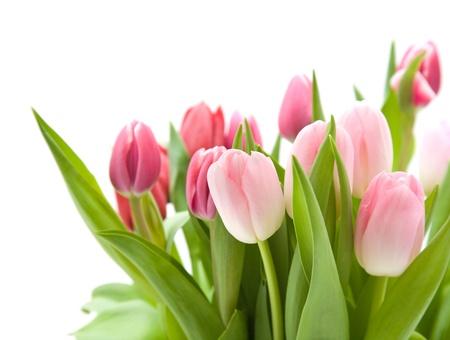 흰색에 고립 된 핑크와 레드 튤립의 무리