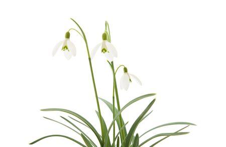 Galanthus nivalis, vaak sneeuwklokje, geïsoleerd op wit