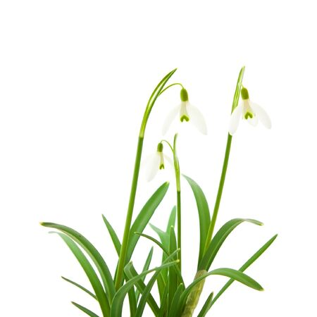 galanthus: Galanthus nivalis; common snowdrop; isolated on white