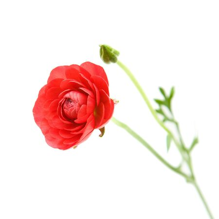 buttercup persian: Red Ranunculus asiaticus (Persian Buttercup), isolato su bianco;