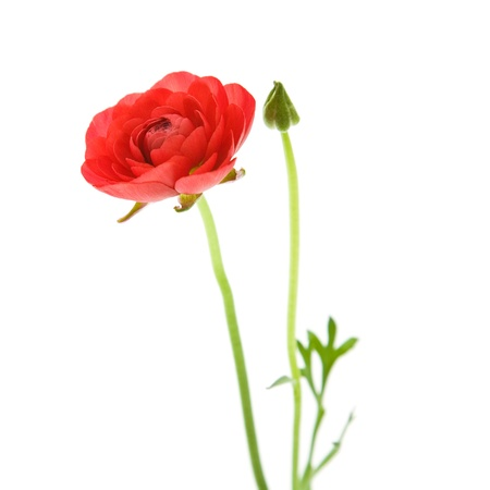 Red Ranunculus asiaticus (Persian Buttercup); isolated on white Stock Photo - 11770534
