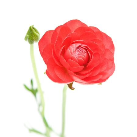 Red Ranunculus asiaticus (Persian Buttercup); isolated on white Stock Photo - 11770542