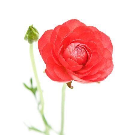 buttercup persian: Red Ranunculus asiaticus (Persian Buttercup), isolato su bianco Archivio Fotografico