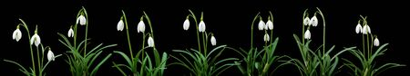 Galanthus nivalis; common snowdrop horizontal border; isolated on black photo