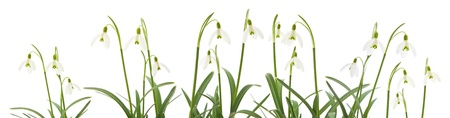 Galanthus nivalis; common snowdrop; isolated on white