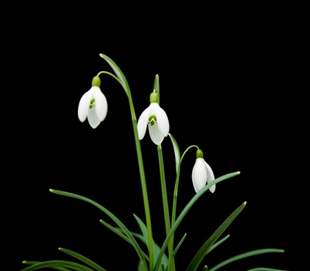 Galanthus nivalis; common snowdrop; isolated on black photo