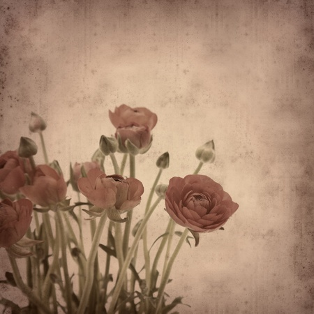 old paper background with Ranunculus asiaticus (Persian Buttercup) photo