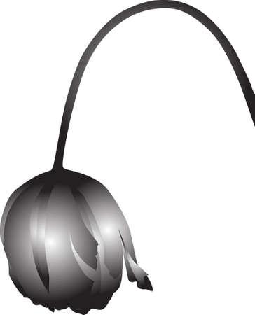 wilting: marchitamiento ilustraci�n tulip�n