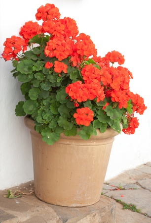 large pot of red geraniums on a step Stock Photo
