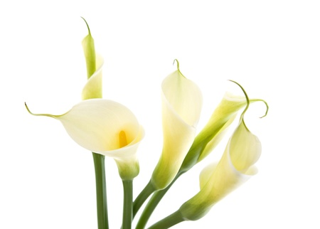 five calla lilies isolated on white background Stock Photo