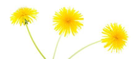 dandelions isolated  photo