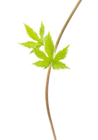 young hops leaves on a long thin  photo