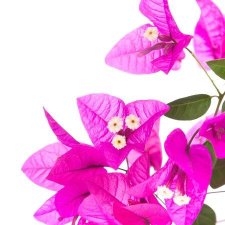 bright magenta bougainvillea, isolated on white Stock Photo - 12185213