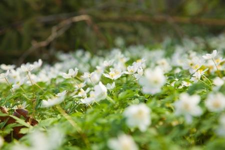 carpet of Anemone nemorosa, northern spring photo