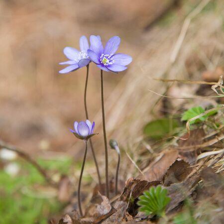 liverwort: liverwort (Hepatica nobilis) growing  on the forest floor Stock Photo