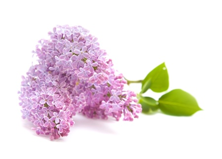 lilac branch isolated on white background photo
