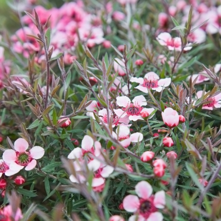 flowering Leptospermum scoparium (Manuka  or Tea tree) background Standard-Bild