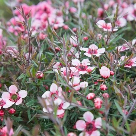 flowering Leptospermum scoparium (Manuka  or Tea tree) background Archivio Fotografico