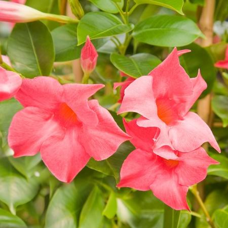 flowering bright pink Mandevilla (Dipladenia) Standard-Bild