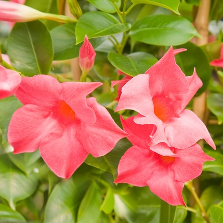 flowering bright pink Mandevilla (Dipladenia) Stock Photo
