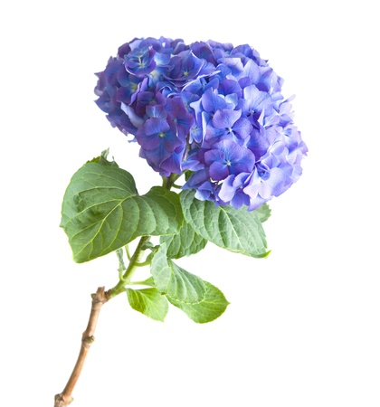 bright blue-lilac hydrangea flowerhead; isolated on white background Stock Photo