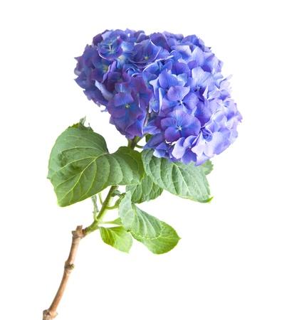 bright blue-lilac hydrangea flowerhead; isolated on white background Standard-Bild