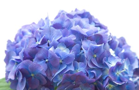 hydrangea flower: bright blue-lilac hydrangea flowerhead; isolated on white background; Stock Photo