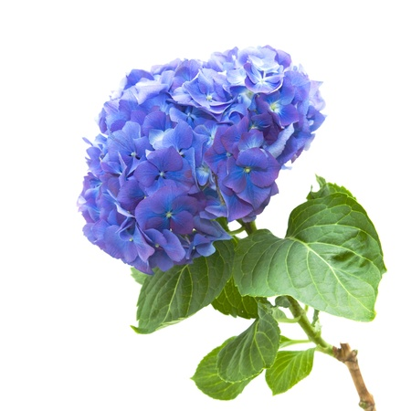 flowerhead: bright blue-lilac hydrangea flowerhead; isolated on white background; Stock Photo