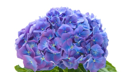 flowerhead: bright blue-lilac hydrangea flowerhead; isolated on white background Stock Photo