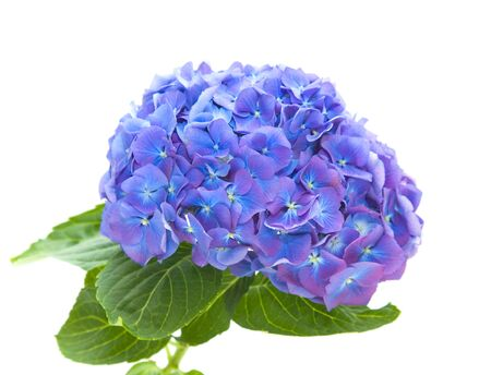 bright blue-lilac hydrangea flowerhead, isolated on white background,