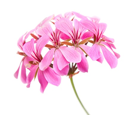 pink Pelargonium inflorescense isolated on white background
