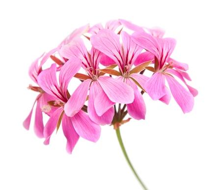 pink Pelargonium inflorescense isolated on white background