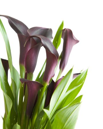 dark purple calla photo