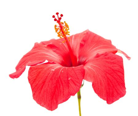 red hibiscus isolated on white background Stock Photo - 12794726