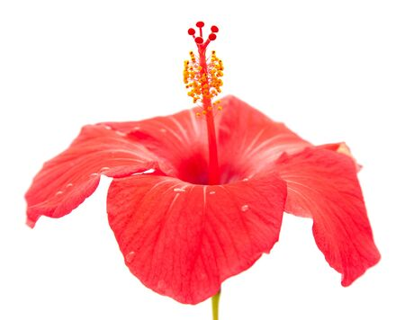 china rose: red hibiscus isolated on white background