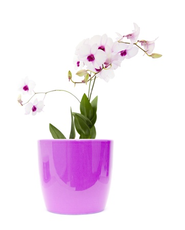 centers: beautiful white; dendrobium orchid with dark purple centers in light lilac pot; isolated on white background Stock Photo