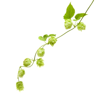 hop plant: hops (Humulus lupulus) branch isolated on white background; a
