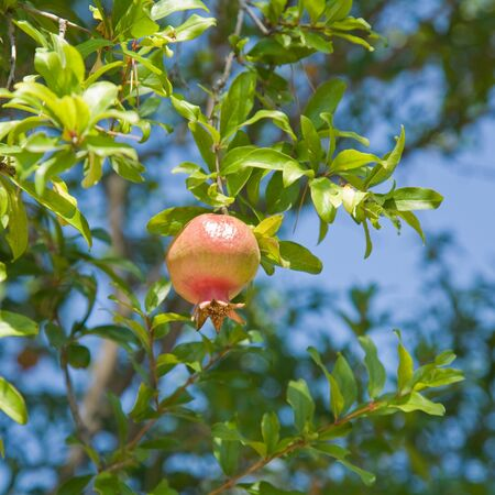 ripening pomegranate Stock Photo - 12991163