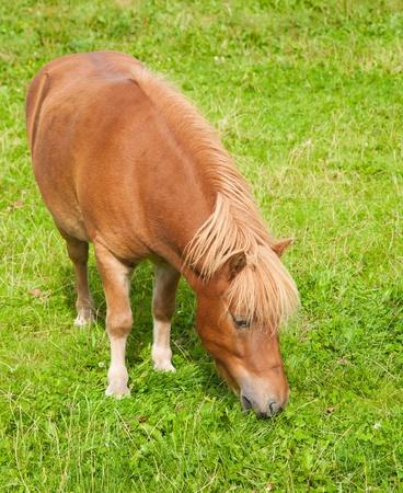 grazing ginger pony