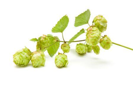 humulus lupulus: hops (Humulus lupulus) branch isolated on white background Stock Photo