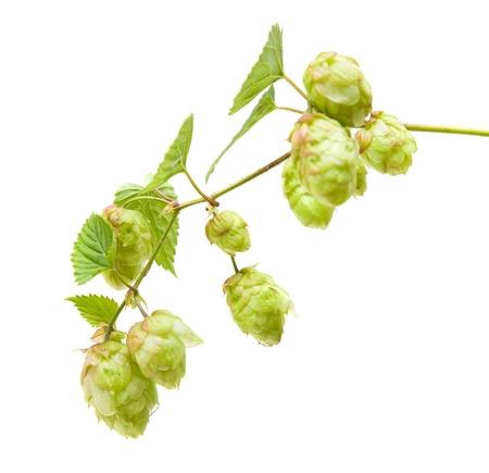 lupulus: hops (Humulus lupulus) branch isolated on white background Stock Photo